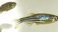 Polish Zebrafish Society